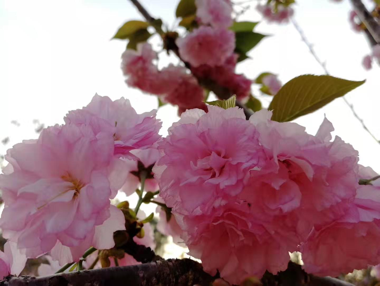 三月盛开的樱花 - 花粉随手拍风光 花粉俱乐部