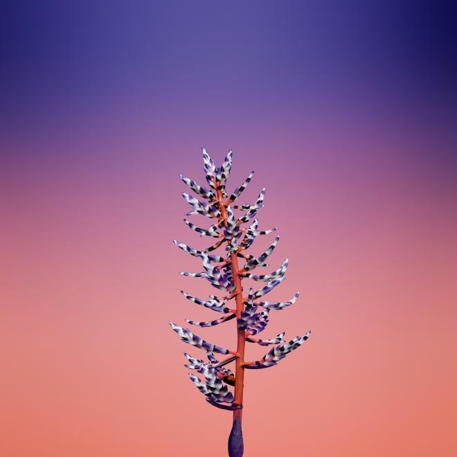 Flower_AECHMEA.jpg
