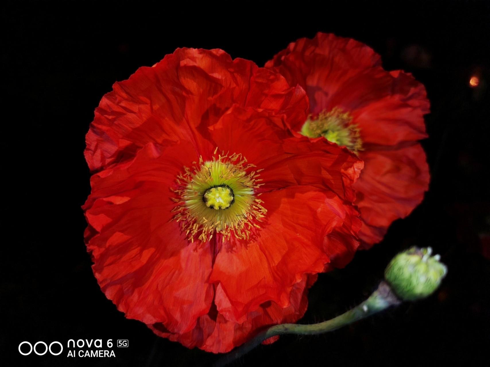 【华为nova6体验37】夜晚的虞美人,花粉随手拍-花粉俱乐部