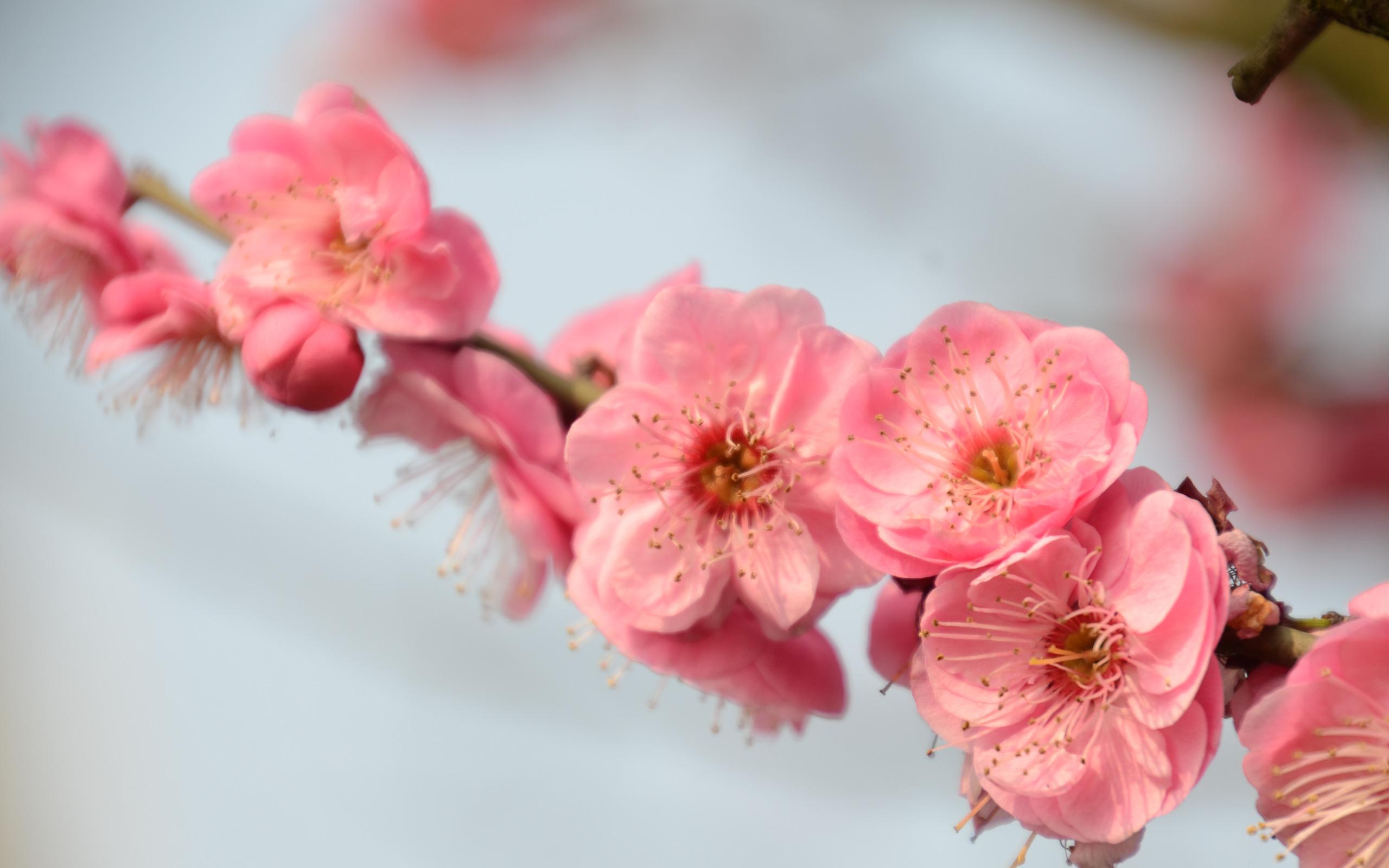 peach-blossom2.jpg