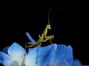 【华为P40】可爱的小螳螂,花粉随手拍-花粉俱乐部