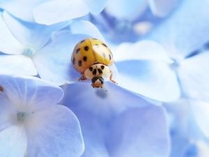 【华为P40】当黄色瓢虫遇上蓝色绣球,花粉随手拍-花粉俱乐部