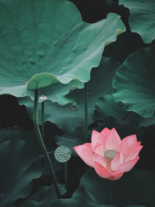 【华为P40Pro】英桥荷香,花粉随手拍-花粉俱乐部