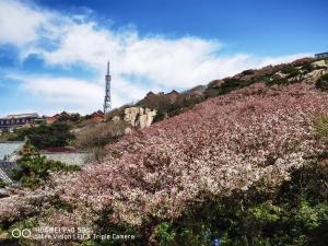 【华为P40】泰山极顶海棠花开 粉白花朵扮靓天街,花粉随手拍-花粉俱乐部