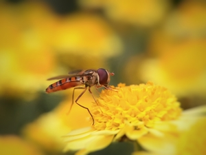 爱上菊花的食蚜蝇,花粉随手拍-花粉俱乐部