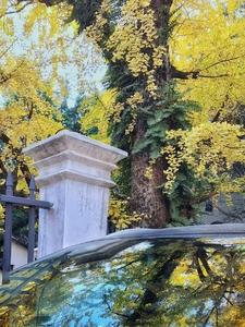 《银杏老树》,花粉随手拍-花粉俱乐部