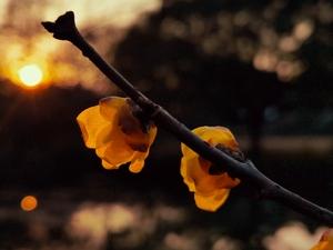 冬日暖阳蜡梅花开,花粉随手拍-花粉俱乐部
