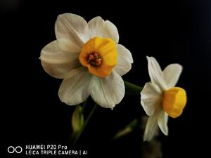 水仙花开了,花粉随手拍-花粉俱乐部
