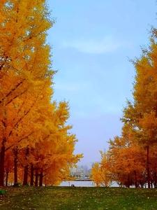 银杏树,花粉随手拍-花粉俱乐部