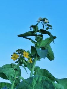 《菜花也是花》,花粉随手拍-花粉俱乐部