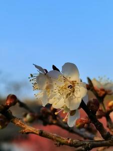 一枝梅花报春来,花粉随手拍-花粉俱乐部