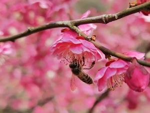 红梅贺新春,随手拍-花粉俱乐部