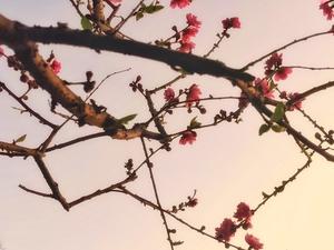 《又见桃花》,随手拍-花粉俱乐部