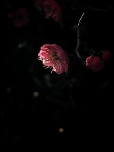 红梅开,待春来,随手拍-花粉俱乐部