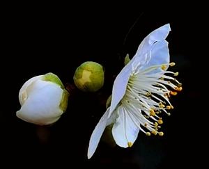 梅中极品绿萼梅,随手拍-花粉俱乐部