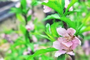 屋后的桃树开花了,花粉随手拍-花粉俱乐部
