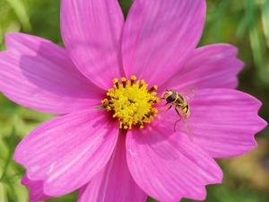 格桑花:春天的幸福花语,随手拍-花粉俱乐部