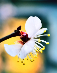 梅迎春,随手拍-花粉俱乐部