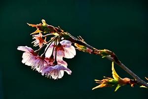 春来早,赏樱花,花粉随手拍-花粉俱乐部