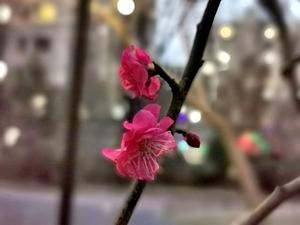 【华为P30pro】梅花香自苦寒来,随手拍-花粉俱乐部