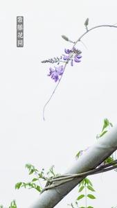 《麦子映画》~《紫藤花开》,花粉随手拍-花粉俱乐部