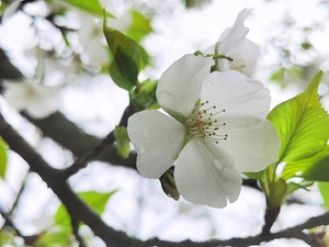 白樱如雪,花粉随手拍-花粉俱乐部