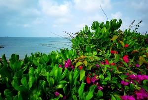 《海南鱼鳞洲风景区的仙人花》,花粉随手拍-花粉俱乐部