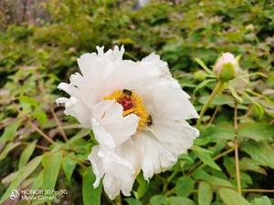 富贵花开,花粉随手拍-花粉俱乐部
