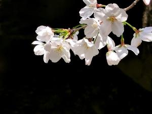 樱花特写,花粉随手拍-花粉俱乐部