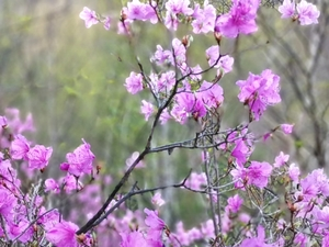 映山红,花粉随手拍-花粉俱乐部