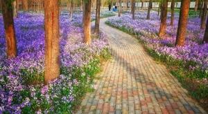《紫色的春天》,花粉随手拍-花粉俱乐部