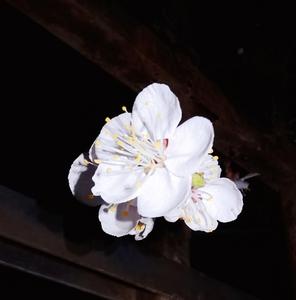 夜拍杏花,花粉随手拍-花粉俱乐部