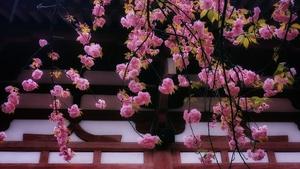 堂前樱花开,花粉随手拍-花粉俱乐部