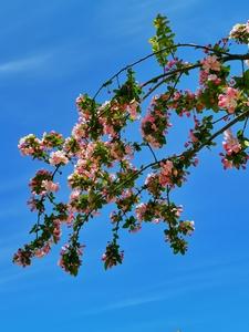 海棠花开,花粉随手拍-花粉俱乐部