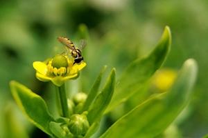 【华为P30pro】花香蝇自来,花粉随手拍-花粉俱乐部