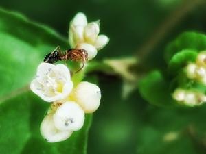 《火炭母草》,花粉随手拍-花粉俱乐部