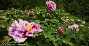 #用华为手机拍最美春光#说不尽的牡丹风流,花粉随手拍-花粉俱乐部