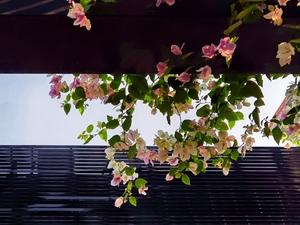 【用华为手机拍最美春色】胡同里的叶子花,美,无处不在! ,花粉随手拍-花粉俱乐部