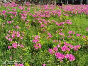 漫山遍野的红杜鹃,花粉随手拍-花粉俱乐部