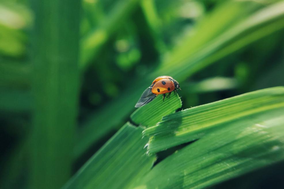 震翅瓢虫,花粉摄影-花粉俱乐部
