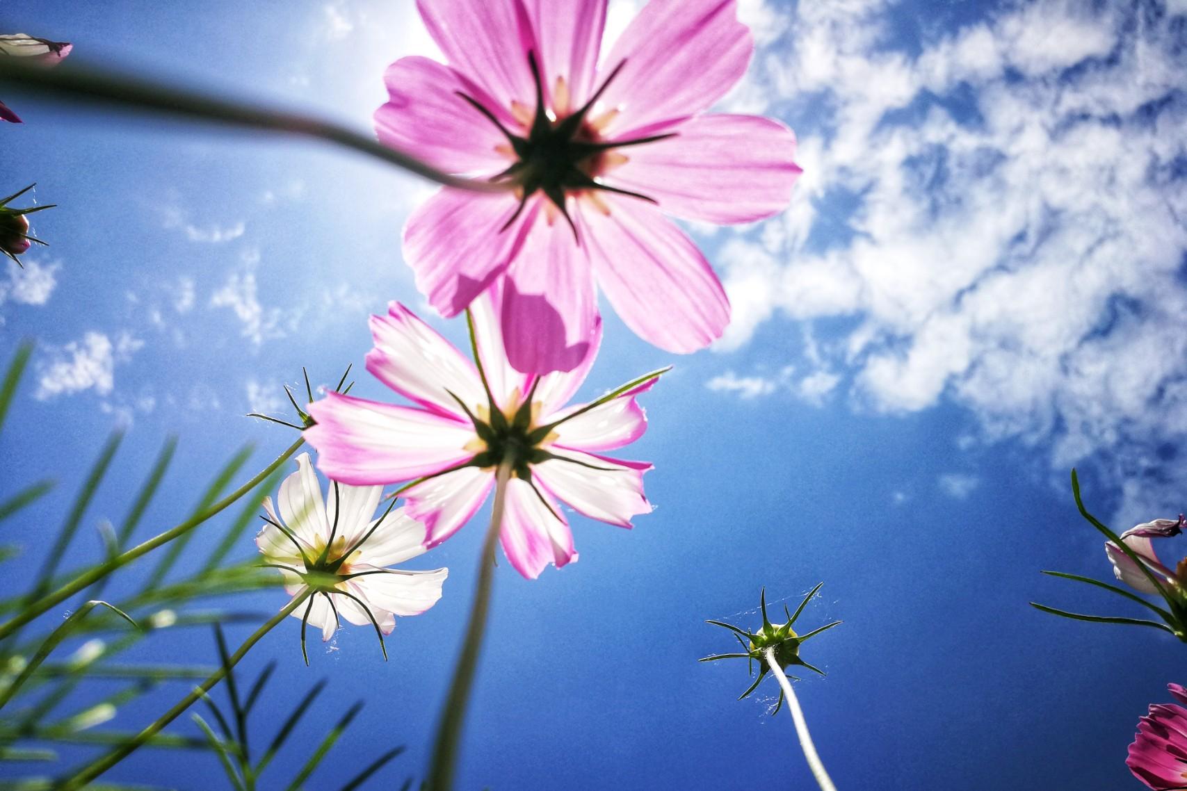 格桑花儿,花粉摄影-花粉俱乐部