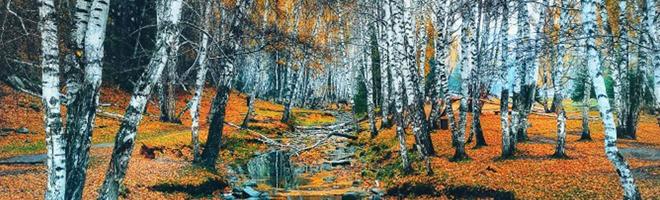 摄影   秋醉北疆三千里,密林里的白桦秋歌,最美秋景就在这波了!,花粉随手拍-花粉俱乐部