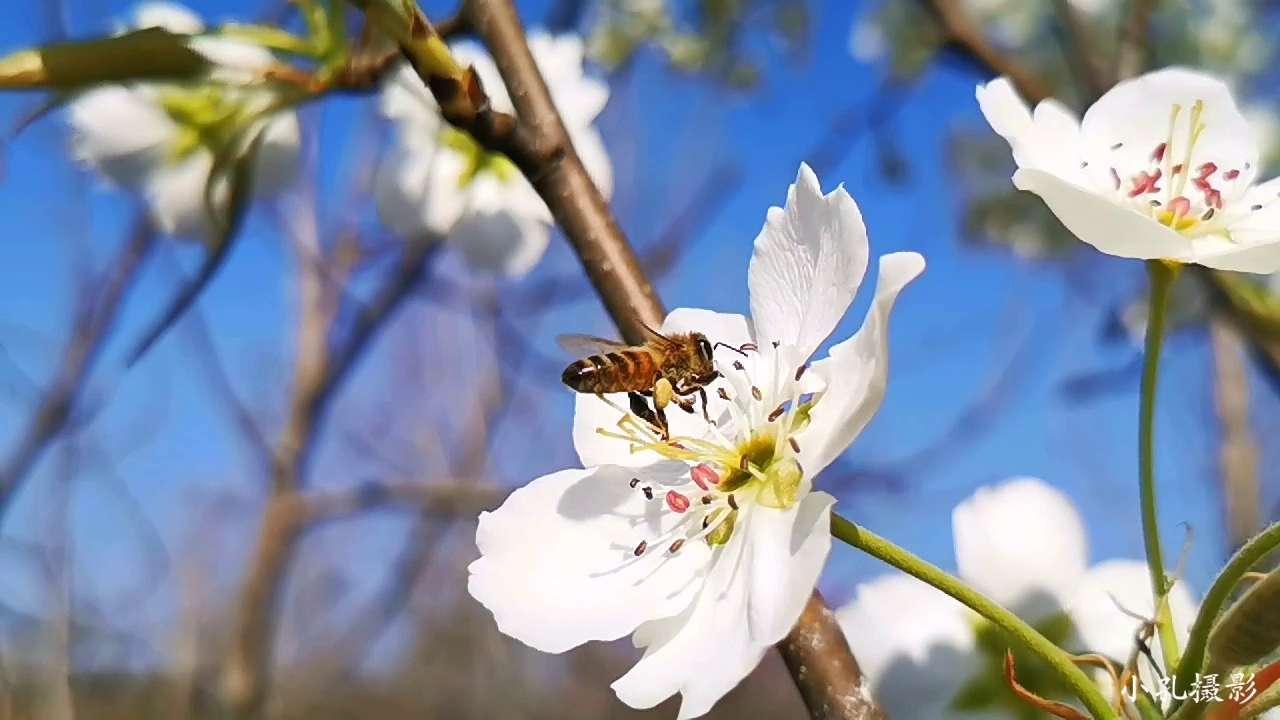 蜂舞花间,刹那芳华,花粉随手拍-花粉俱乐部