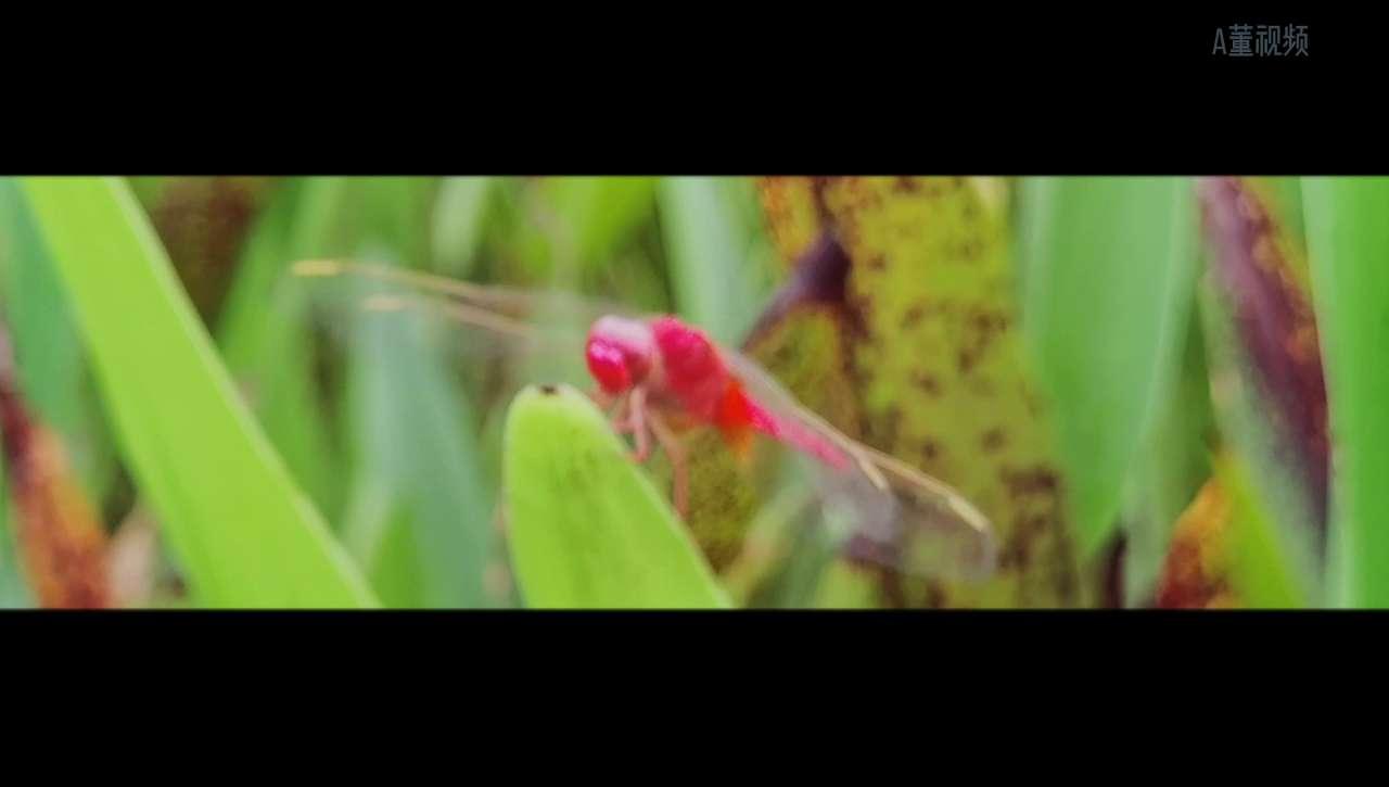 红蜻蜓,花粉随手拍-花粉俱乐部