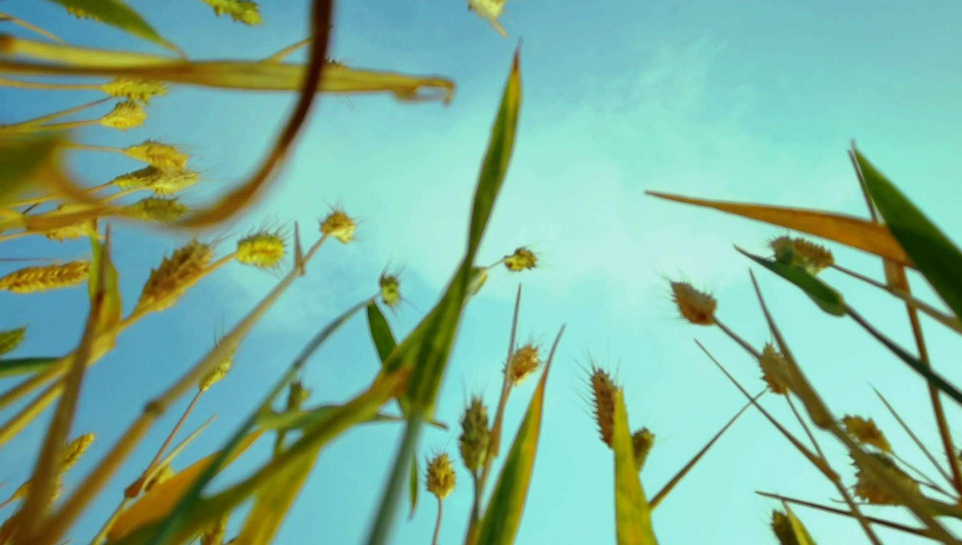 风吹麦浪,花粉随手拍-花粉俱乐部