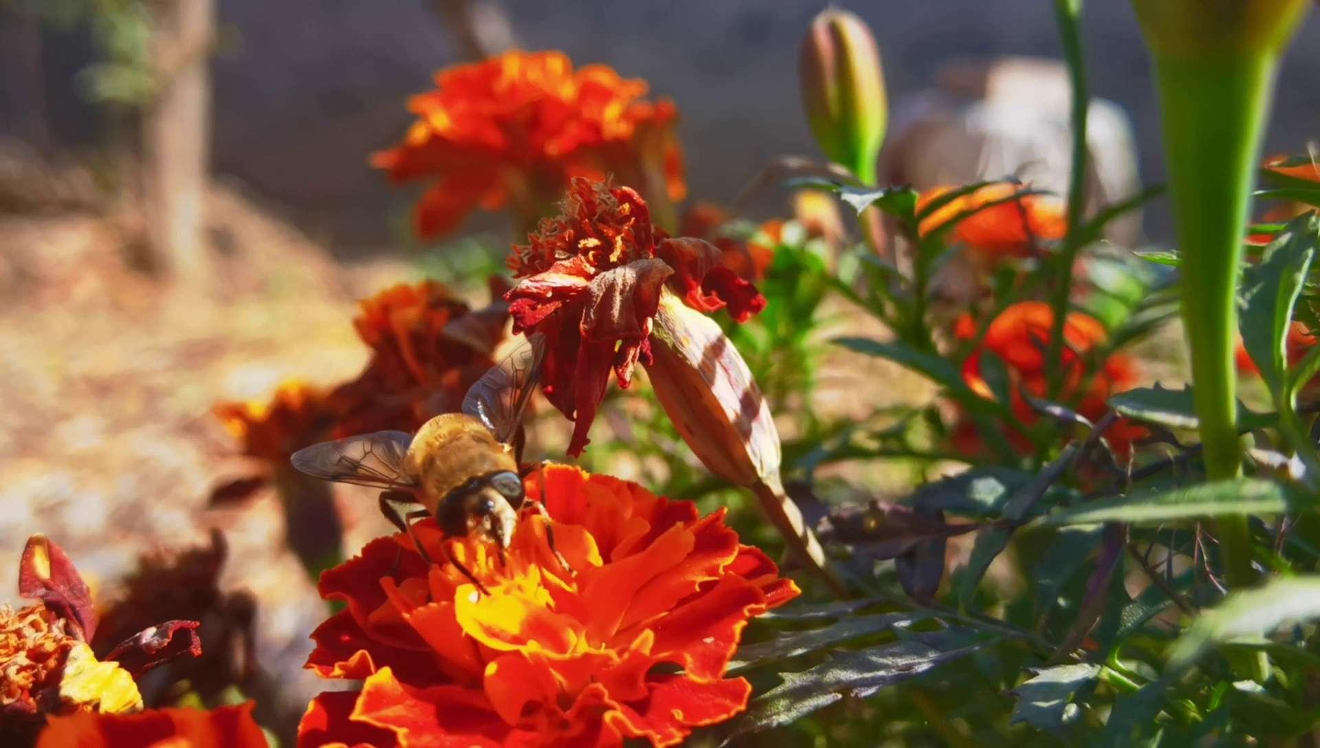 蜜蜂采蜜,花粉随手拍-花粉俱乐部