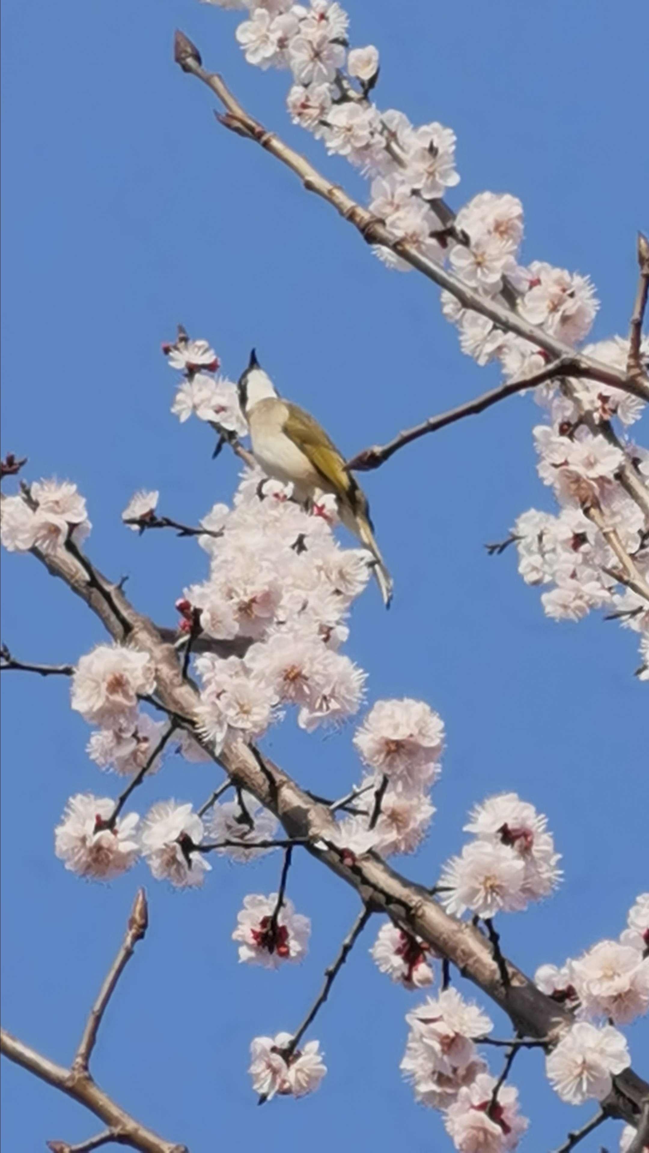 鸟语花香,华为P40系列-花粉俱乐部
