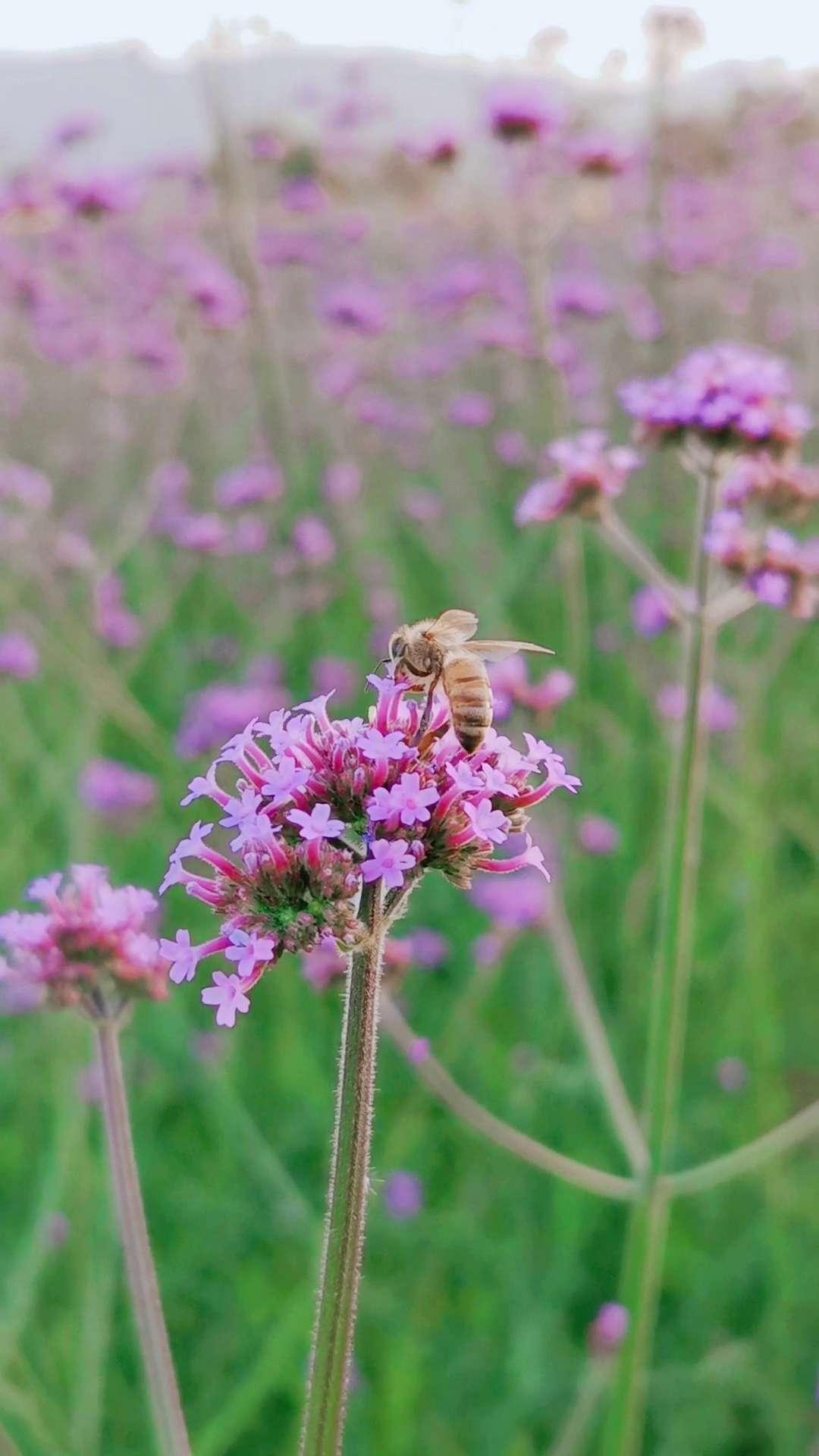 #随手拍五一长假#花开引蜂采蜜忙,花粉随手拍-花粉俱乐部